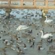 白鳥と鴨の共演