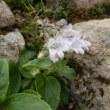 【大雪山国立公園・旭岳情報】チングルマの開花進む