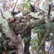 朝の大師殿と桜の古木
