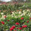 秋に咲くバラ