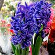 ヒヤシンスという花