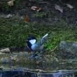 尾羽の白い、シジュウカラがいた。
