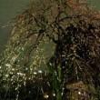 湯島天神 梅まつり