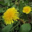 ノゲシとタンポポ、花の色は似ているけど‥‥