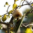 カマキリ産卵