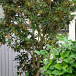 庭植えのキンモクセイ