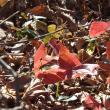 イカリソウの紅葉