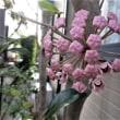 自宅の花 シュウメイギク、サクララン
