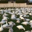 Snow goose(白雁)