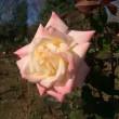 ダイアナ妃の花