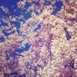 本当に桜🌸はいい