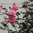 ☆きょうの庭バラはピンクが多め 5/26 バラクキバチで新芽ダラリから復活バラも