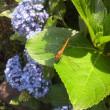 トンボと紫陽花