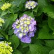 紫陽花とブラックベリー