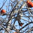 柿を食べる鳥たち