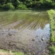 Taue / Planting Rice Seedlings