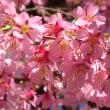 ✿おかめ桜
