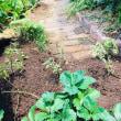 家庭菜園、採れ始めましたよ・・・
