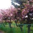 手賀沼の八重桜