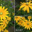 ルドベキアの花は