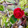 薔薇のような