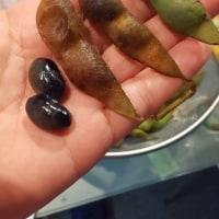 こんな季節の枝豆は天下一品!