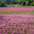 花めぐり つつじと芝桜編