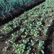 タマネギ 苗を約400株植えました