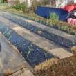 第二菜園にもタマネギ定植をしました