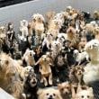 「子犬工場」業者、近く書類送検