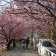 河津桜を観るバスツアーに参加