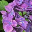 アジサイの「装飾花」の中心にある「真花」・・・開花してた~~~(^^)