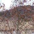 ハンノキ(カバノキ科・ハンノキ属)落葉高木
