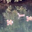 3/19探鳥記録写真-2(頓田貯水池の鳥たち:ウグイス、オシドリの群れほか)