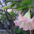 季節の花「木立朝鮮朝顔(きだちちょうせんあさがお)」