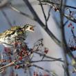 今日の鳥  ヤマセミ トラツグミ ハチジョウツグミ 中々目当ての鳥に出会えず残念