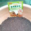 泉州黄玉葱の種蒔き