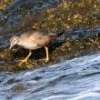 8/22探鳥記録写真(遠賀川河口の鳥たち:キアシシギ、イソシギ、トビ、ダイサギ)