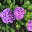 紫陽花祭り🍀💕
