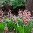 高尾山の花/ 今年も見ることができました、あの花・・・  2018-05-18