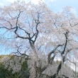 【桜】【花見】【枝垂れ桜】