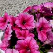 春の日のペチュニア