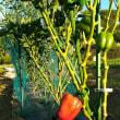 パプリカの収穫