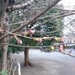 2018/3/20 pm6 近所の公園の桜の蕾