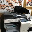 黒猫ジジィ コピー機が気になる プリント量産中