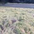 稲刈り日が決まりました