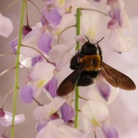 クマバチは藤の花が大好き
