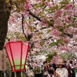 京都さくら(3)