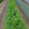 2017年、お盆に合わせて人参収穫。春蒔き五寸にんじんの種まき時期と出来具合は…