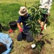 田んぼの畑化(果樹園へ転換中)満を持してリンゴ苗を植える(その2)